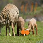 Hukum Berqurban Dengan Domba Umur 6 bulan
